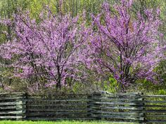 Plant redbud trees this fall for bright purple blooms that will brighten up your spring >> http://www.diynetwork.com/outdoors/flowering-trees/pictures/index.html?soc=pinterest