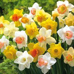Mixed Trumpet Daffodils for Naturalizing | K. Van Bourgondiens