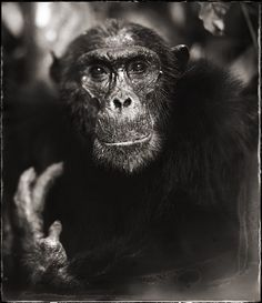 Find the latest shows, biography, and artworks for sale by Nick Brandt. Fusing art and activism, Nick Brandt focuses on the animals that roam Tanzania and Ke… Nick Brandt, Animals Images, Animal Pictures, Wild Animals, Wildlife Photography, Animal Photography, Festival Photo, Chimpanzee, Orangutans