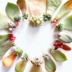 #succulents #suculentas