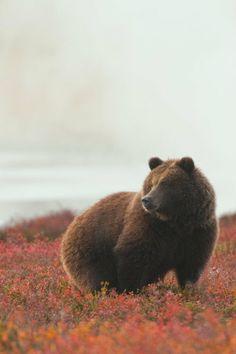 ternpest: (via / Untitled by Tatiana Anikina) Black Bear, Brown Bear, Beautiful Creatures, Animals Beautiful, Animals And Pets, Cute Animals, Wild Animals, Bear Photos, Love Bear