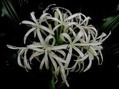 Flowers in Singapore: Crinum asiaticum