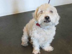 SUGAR-ID#A1501712  My name is Sugar and I am a neutered male, white Maltese and Poodle - Miniature.  The shelter thinks I am about 5 years old. I weigh approximately 19 pounds.  I have been at the shelter since Aug 16, 2014.