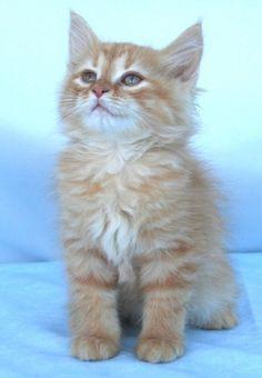 Beautiful color, red Siberian kitten