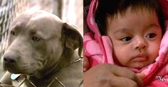 Hero Pit Bull Saves Newborn Baby From Burglers via LittleThings.com