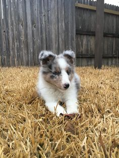 Watson the sheltie (9 weeks)