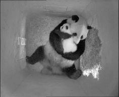 Panda baby/mama hugs