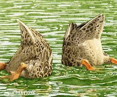 Duck butts.
