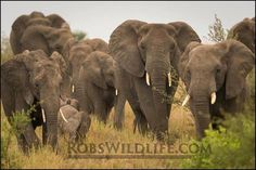 A nice herd of African Elephants  Have you ever wanted to go to Africa  get 4 of your friends or family and I will guide you on a Lifetime Wildlife Adventure  http://ift.tt/1OMjfVZ  Do you want to take photos like a Professional I can give you all the instruction you want. I currently take people to Tanzania but I am working on Photo Tours in Botswana Namibia Zimbabwe South Africa  please check out my images from some of my past trips http://RobsWildlife.com. #wildlife #naturephotography…