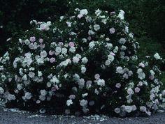 Stanwell Perpetual blommar rikligt juni- frost och klarar det mesta. Doftande, ljusrosa blommor som bleknar mor vitt. 120-150 cm hög, klarar sig upp i zon 6.