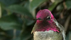 "naturegifs: "" Anna's Hummingbird 