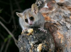 https://flic.kr/p/q2ZkS3 | Mouse Lemur (Madagascar) | During a night walk in my latest Madagascar trip, we found a small lemur family flying at lightning speed tree to tree. I decided to take a beer and mount my gear. With no light at all I could only rely on high speed photography, so I turned on my flashes and my barrier and put some banana to attract the mini lemurs... Only 20 minutes later my off camera flashes started to work.After 2 hours of fine-tuning the focus I finally got the…