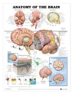 the brain in detail