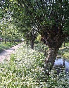 Knotwilgen - het mooie Nederlandse landschap / Pollard Willows - the lovely…