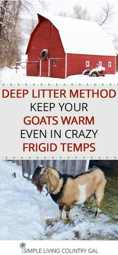 The deep litter method is a great way to keep your animals warm in frigid temperatures, great for your chickens too! Raising dairy goats in the winter is easy with the deep litter method. GOATS | DEEP LITTER | WINTER via @SLcountrygal. #goats