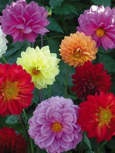 N14509 SHOWPIECE DOUBLE MIXED Dahlia Seeds  Improved Decorative type Dahlias with a high percentage of double, 3-4 inch blooms held on long, strong stems. They are superb cut flowers. Colors include purple, red, lavender, yellow, carmine, pink, and salmon. The 3-4 foot tall plants are heavy blooming; provide large quantities of rich, radiant flowers for both the border and vase from midsummer until frost.