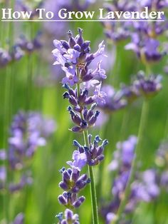 DIY Garden - How To Grow Lavender
