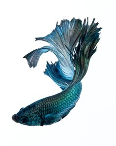 siamese fish - Поиск в Google