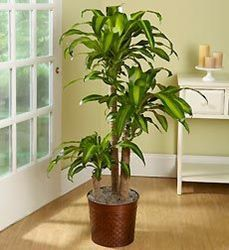 Houseplants That Filter the Air We Breathe Corn Plant Care Tips - Dracaena Fragrans 'Massangeana' For Bedroomnorth Windows Or Back Bedroomkitchen In Med Light Best Indoor Plants, All Plants, Outdoor Plants, Growing Plants, Indoor Garden, Indoor Trees, Large Plants, Corn Plant Care, Mass Cane Plant