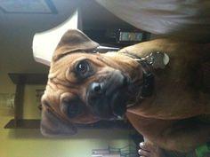 BO  Boxer Pug Mix