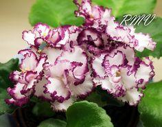 Фиалка АВ-Мимими (754-17). Цветок: Белые махровые розочки с красивой темно-вишневой гофрированной каймой. Розетка: Малый стандарт, очень компактная розетка со средне-зелеными слегка волнистыми листьями.