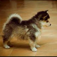 Pomsky ;) forever a puppy! I want one...