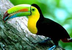 Tucan bird from Venezuela