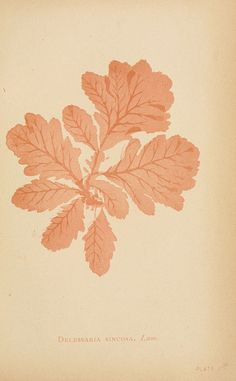From: Sea mosses  Boston,B. Whidden,1893.