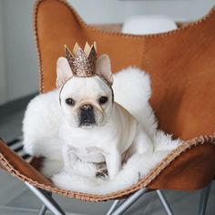 """""""You can call me Queen Piggy"""", a very Royal French Bulldog ❤️❤️"""