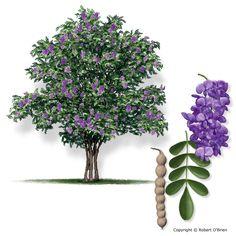 Beauiful native Texas tree ~ the Texzs Mountain Laurel from @Teresa Selberg Mckinney of Texas