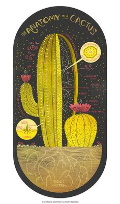 The Anatomy of a Cactus art print by Rachelignotofsky on Etsy, $23.00