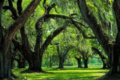 Live Oaks provide the clarity of serenity.