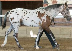 """Kondos Markos"" won the South African Male Youngstock Halter class and won the National Appaloosa Yearling,Junior Appaloosa and Supreme Male of show res. Appaloosa Horses, Breyer Horses, Animals And Pets, Cute Animals, Horse Markings, Hobby Horse, Horse Love, Beautiful Horses, Little Pony"