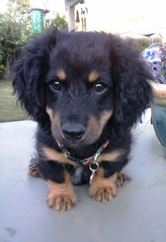 1000 images about doxiepoo on pinterest dachshund