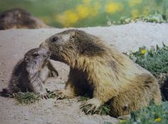 alpin marmot and puppy