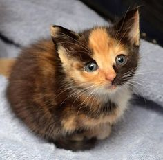 Love Meow Meet Emily. They found her when she was 3 weeks old. See her story & how she's doing now: http://lovemeow.com/2014/08/calico-kitten-finds-warmth-love/ (by The Furrtographer)