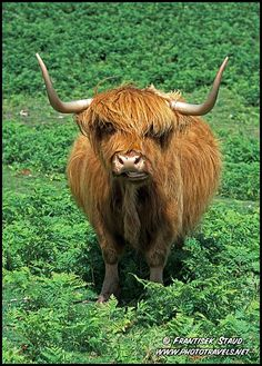 Highland cattle standing in the fern, Scottish Highlands