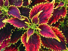 Coleus Skyfire / Koleus / Okrasná žihľava, K7 Wine, Flowers, Plants, Caipirinha, Balcony, Plant, Royal Icing Flowers, Flower, Florals