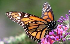 2015-11-13 - Some good news!  Monarch Butterfly Population May Quadruple this Year (video)