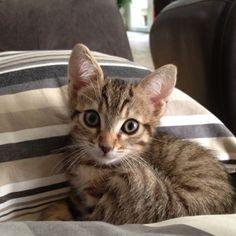 Corona, a friend's cat