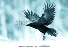 Black raven flying in moonlight. Scary, creepy, gothic setting. Cloudy night.
