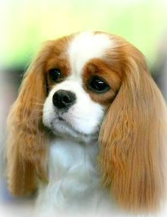 So beautiful - Blenheim Cavalier