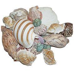 Muscheln Strand Deko Natur 1 kg = ca. 70 Stück Nr. U2161