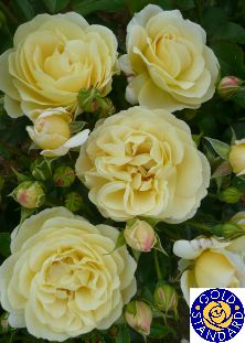 """LIGHT FANTASTIC (Dicgottago) 2007           £8.50  Masses of lemon/cream """"old English"""" type blooms are beautifully contrasted by dense, glossy, mid-green foliage. The blooms are very full, light scented and are abundant throughout the flowering period. The plant is of medium height and has a very bushy habit. Disease resistance is excellent."""