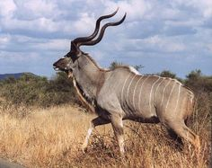 kudu: someday one of these will be on our wall. African safari, here we come!