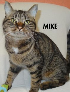 ADOPTED!  Tag# 13343 Name is Mike Tiger Male-neutered Front declaw Very nice...needs to add some weight!   Located at 2396 W Genesee Street, Lapeer, Mi. For more information please call 810-667-0236. Adoption hrs M-F 9:30-12:00 & 12:30-4:15, Weds 9:30-12:00 & Sat 9:00-2:00  https://www.facebook.com/267166810020812/photos/a.960995920637894.1073742227.267166810020812/960996830637803/?type=3&theater