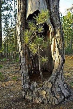 Amazing mother nature!?♥️ - nature post - Imgur Weird Trees, Image Nature, Unique Trees, Old Trees, Tree Branches, Nature Tree, In Nature, Tree Forest, Plantation