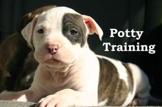 Pitbull Puppies. How To Potty Train A Pitbull Puppy. Pitbull House Training Tips. Housebreaking Pitbull Puppies Fast & Easy. Share this Pin with anyone needing to potty train a Pitbull Puppy. Click on this link to watch our FREE world-famous video at ModernPuppies.com