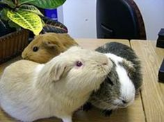 The guinea pig has been placed in the suborder Caviomorpha, which it shares with other species of cavy, capybaras, agoutis, chinchillas and New world porcupines. Guinea Pig House, Baby Guinea Pigs, Guinea Pig Care, Pet Pigs, Pig Facts, Guniea Pig, Guinea Pig Bedding, Cute Piggies, Teacup Pigs