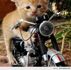 Motorcycle Kitty